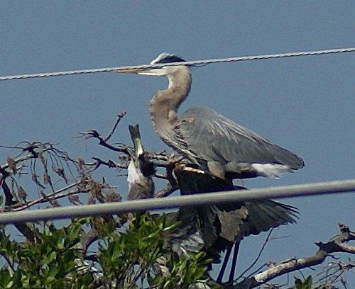 Heron Feeding Time
