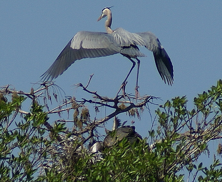 Heron on Nest with two young