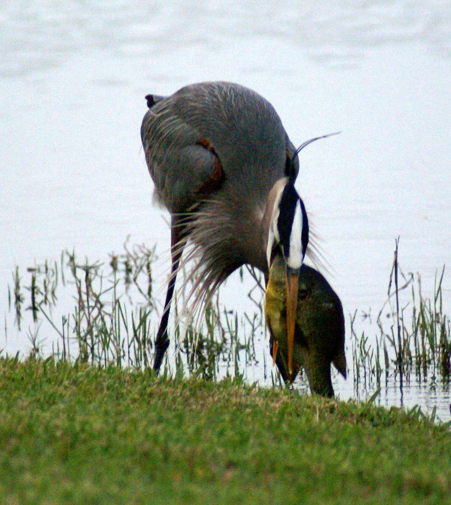 Heron Eating Sunfish