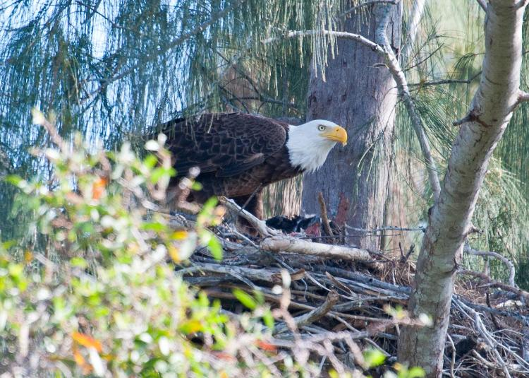 Eagle Feeding the chick