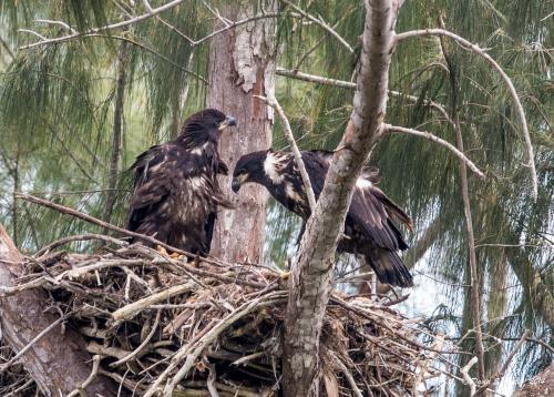 Eaglet Pair on the nest