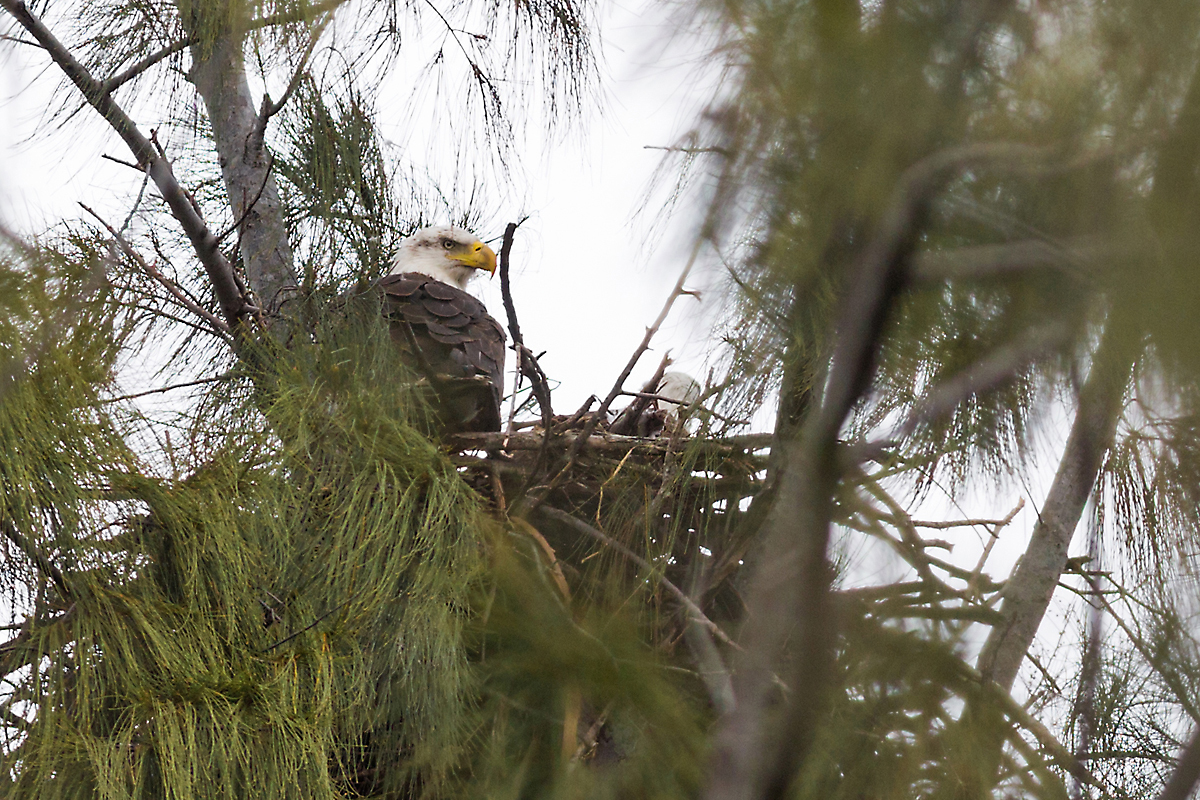 Two eagles on nest, from south vantage