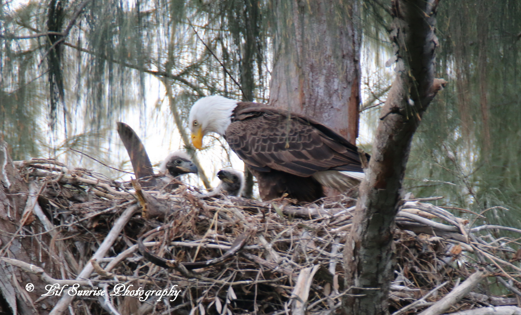 Jewel and both eaglets.
