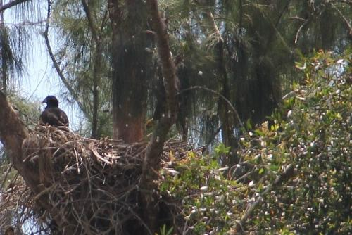 Look closely, adult is in the frame to the right of the eaglet