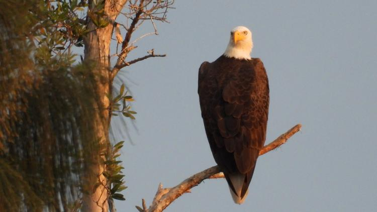 Miramar Eagle Perched on one of his favorites tree..note full 180 degree head turn...Pic taken January 14