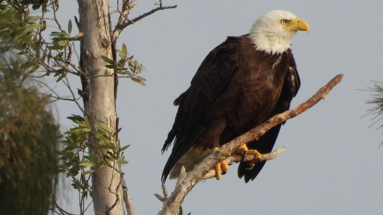 Miramar Eagle Perched on one of his favorites tree..Feb 7 2021