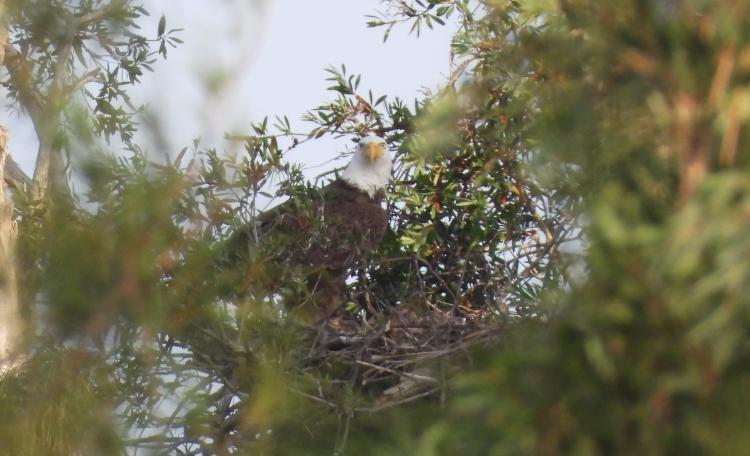 One of the adults in the nest checking on the kids