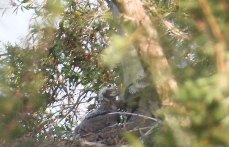 Two eaglets visible...
