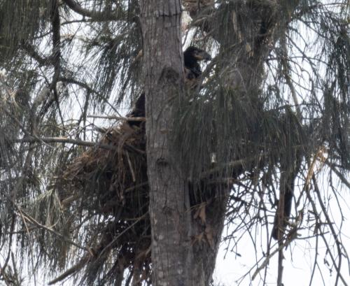 eaglet still on nest as of yesterday afternoon!